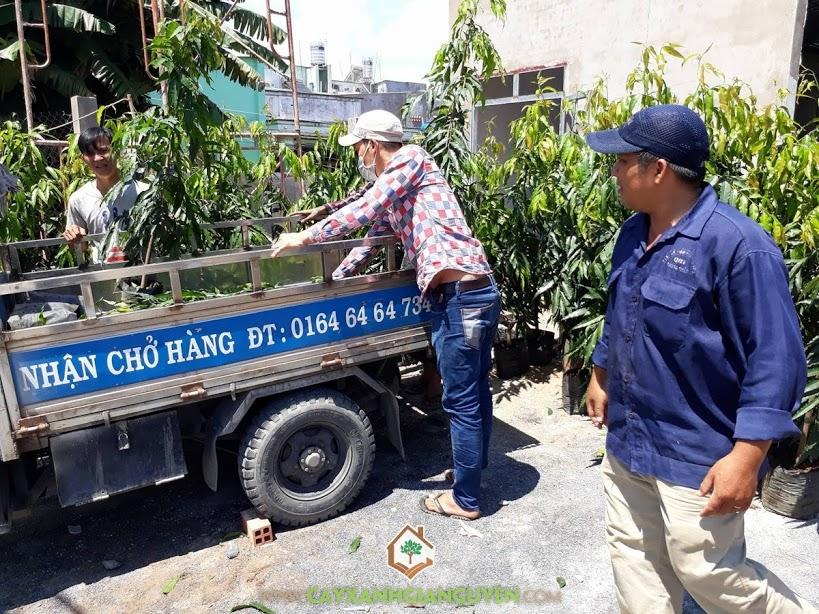 Cây Hoàng Nam, Vườn ươm Cây Xanh Gia Nguyễn, Hoàng Nam, Cây Hoàng Nam Giống, Giống cây