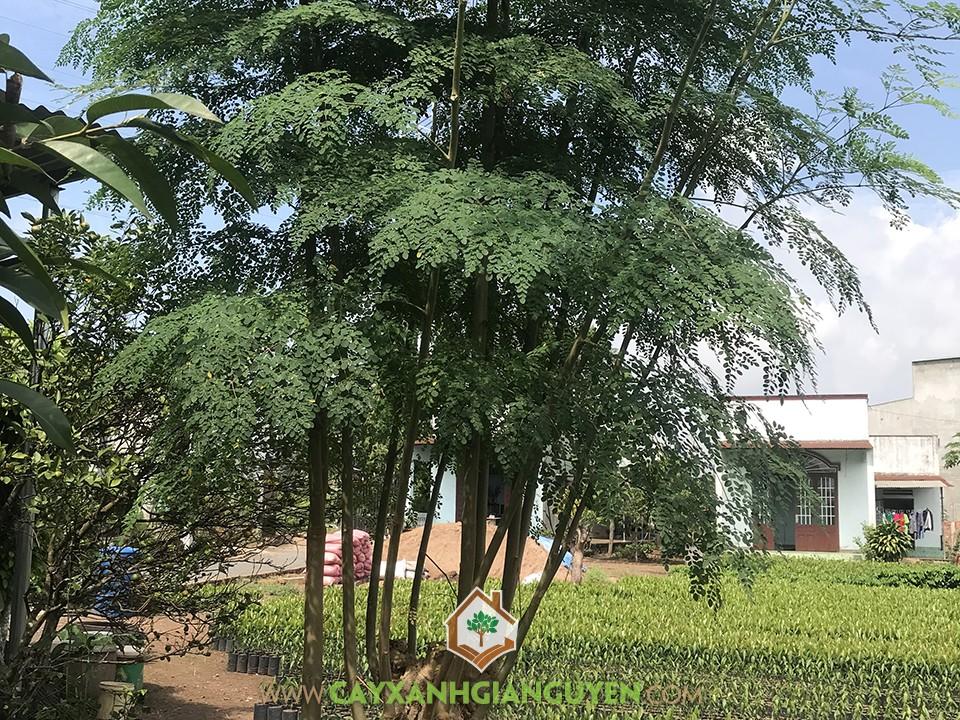Cây Chùm Ngây, Cách trồng Chùm Ngây, Kỹ thuật trồng Chùm Ngây, Hạt Chùm Ngây, Giống Cây Chùm Ngây