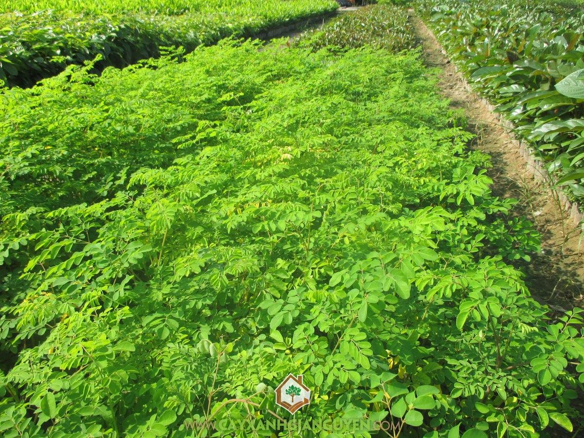 Chùm Ngây, Cây Chùm Ngây, Trồng Cây Chùm Ngây, Cách trồng Cây Chùm Ngây, Cây Dược Liệu