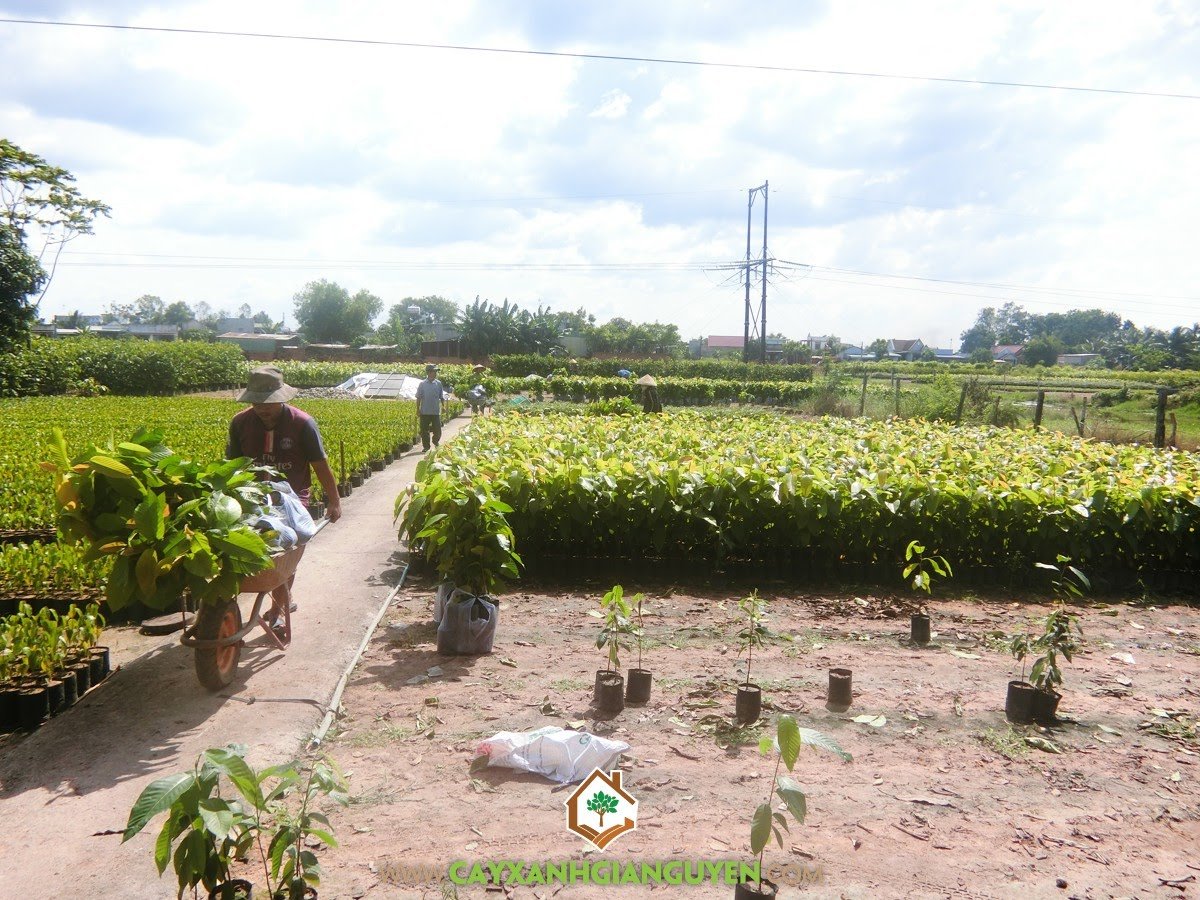 Cây Dầu Rái, Vườn ươm Cây Xanh Gia Nguyễn, Cây Dầu Rái Giống, Dầu Rái, Cây giống