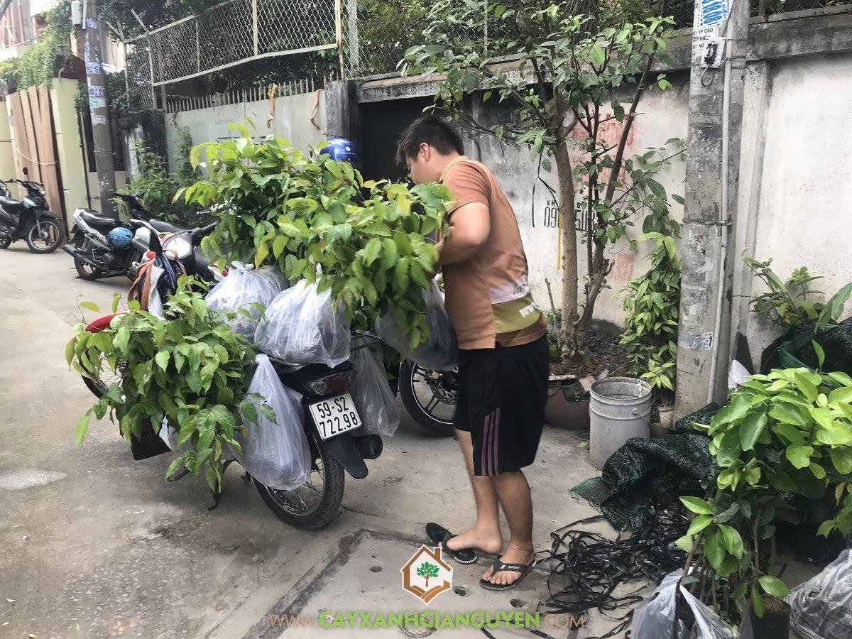 Cây Sao Đen, Cây Bóng Mát, Vườn ươm Cây Xanh Gia Nguyễn, Vườn Sao Đen, Cây Giống Sao Đen