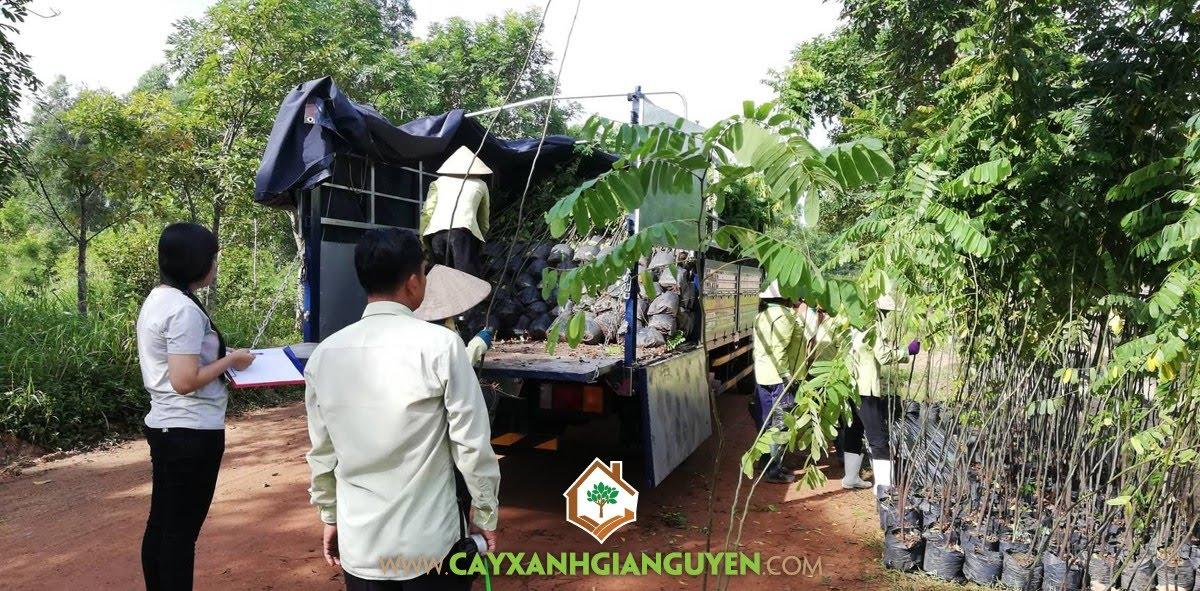 Cây Ô Môi, Vườn ươm Cây Xanh Gia Nguyễn, Cây Giống, Ô Môi, Khu Du Lịch sinh thái Sơn Tiên