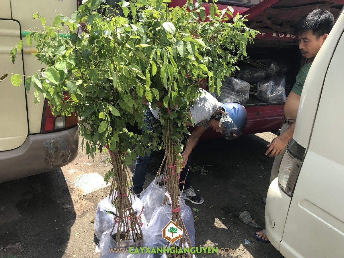 Cây Gỗ Trắc, Vườn ươm Cây Xanh Gia Nguyễn, Giống Cây Lâm Nghiệp, Cây Trắc Đỏ, Cây Giáng Hương