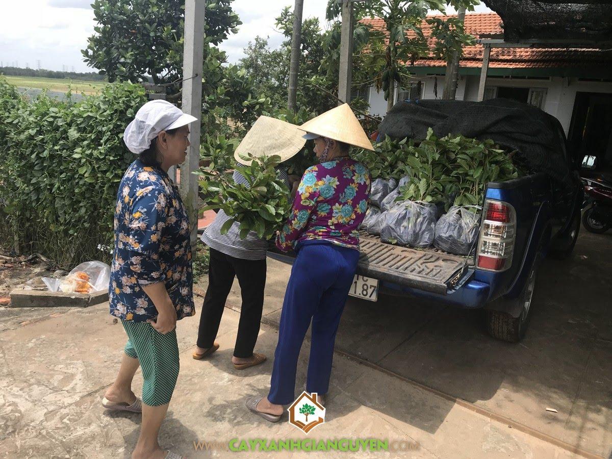 Cây Gáo Vàng, Vườn ươm Cây Xanh Gia Nguyễn, Cây Gáo Vàng Giống, Cây giống, Gáo Vàng