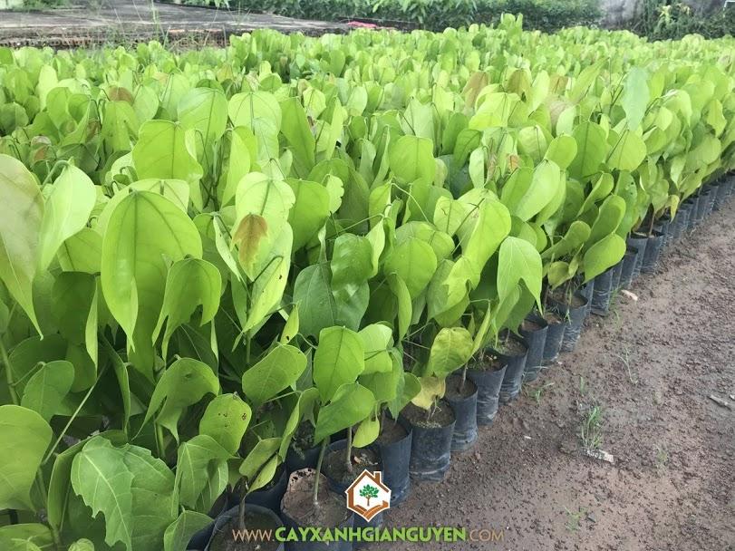 Cây ươi, Phương pháp nhân giống cây ươi, Vườn ươm Cây Xanh Gia Nguyễn, Cung cấp cây ươi giống, Giống cây ươi