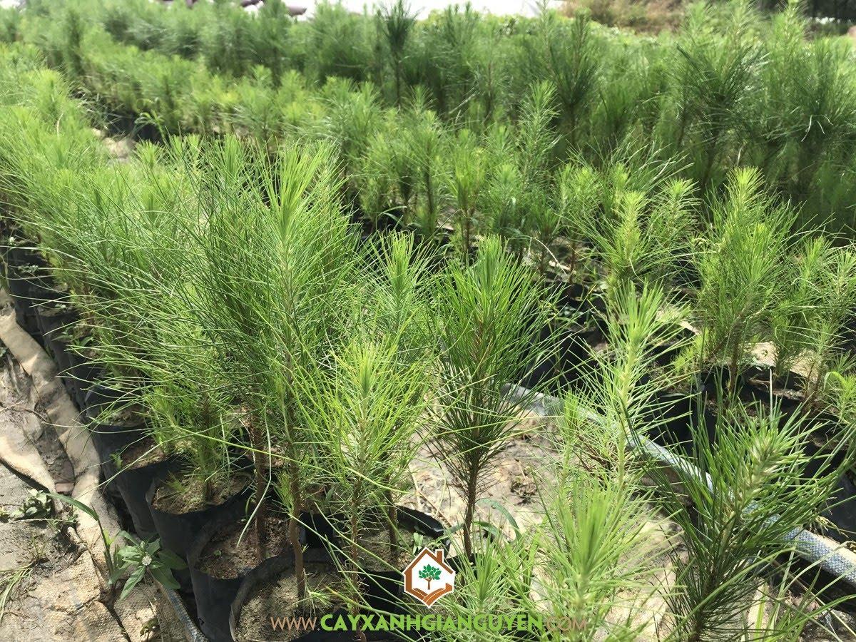 Thông Ba Lá, Xà Nu, Xà Núi, Tòng Thú, Pinus kesiya Royle ex Gordon