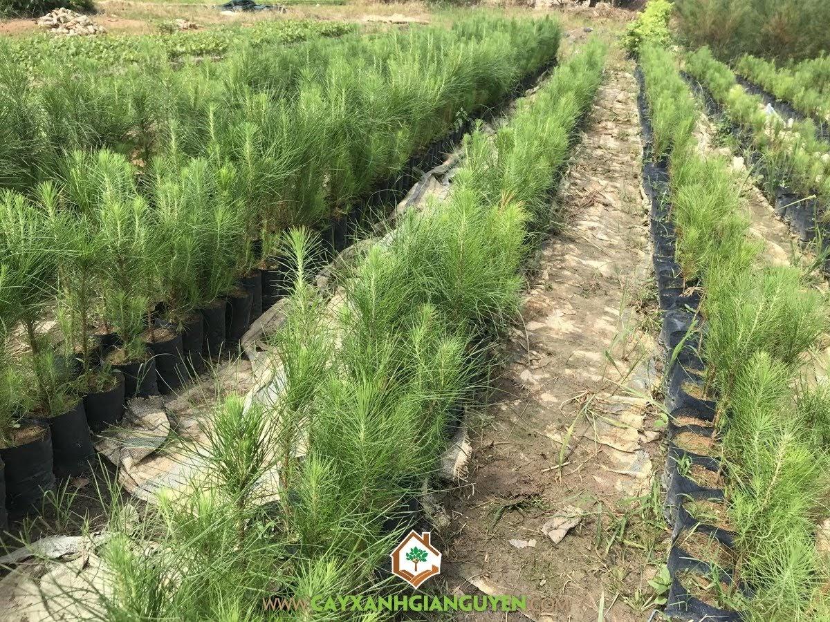Cây Thông Ba Lá, Kỹ thuật trồng Cây Thông Ba Lá, Thông Ba Lá, Trồng Thông Ba Lá, Cây Lâm Nghiệp