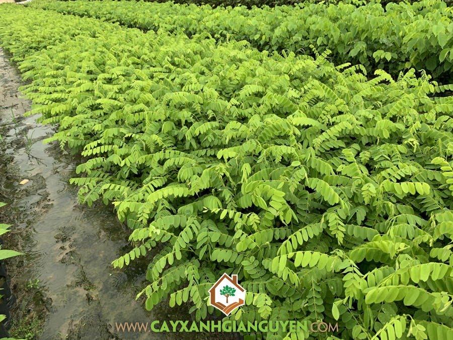 Cây Giống Muồng Hoa Đào, Cây Muồng Hoa Đào, Vườn ươm Cây Xanh Gia Nguyễn, Trồng Cây Muồng Hoa Đào, Muồng Hoa Đào