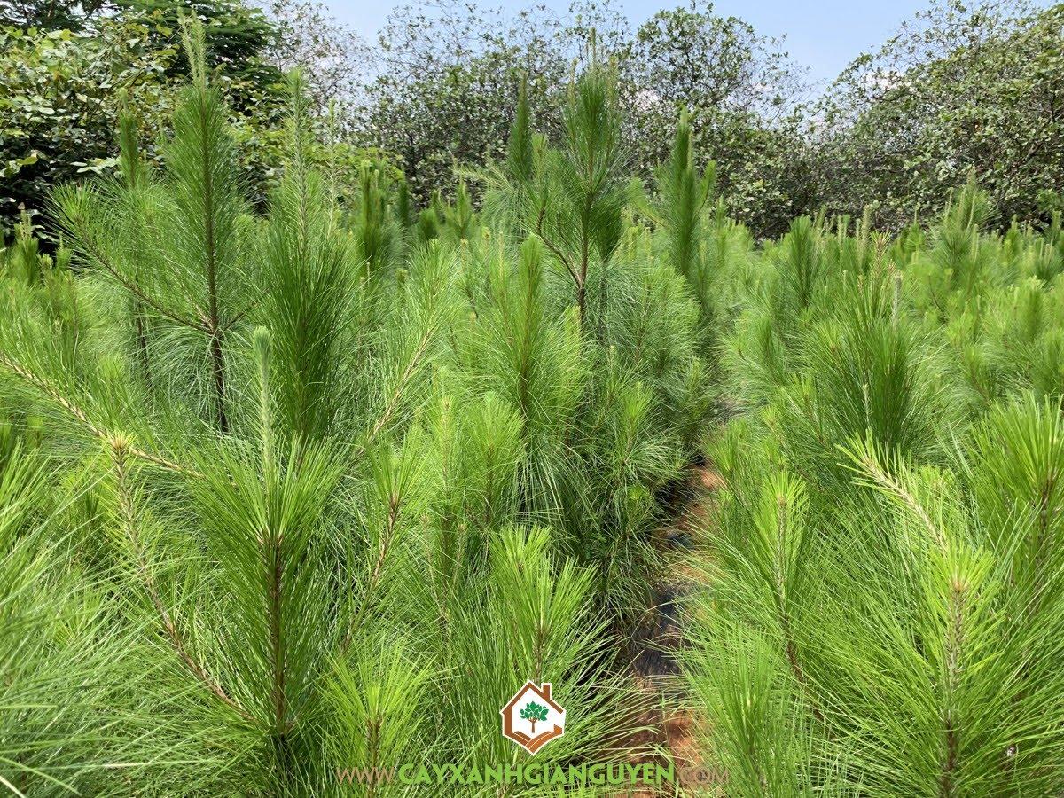 Thông Ba Lá, Trồng rừng Gỗ Thông Ba Lá, Gỗ Thông Ba Lá, Nhựa Thông Ba Lá, Rừng Thông Ba Lá