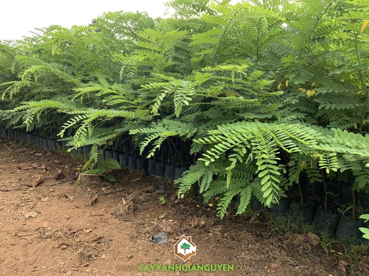 Cây Muồng Hoa Đào, Cây Giống Muồng Hoa Đào, Vườn ươm Cây Xanh Gia Nguyễn, Chăm sóc cây giống, Cây Bóng Mát trong sân vườn