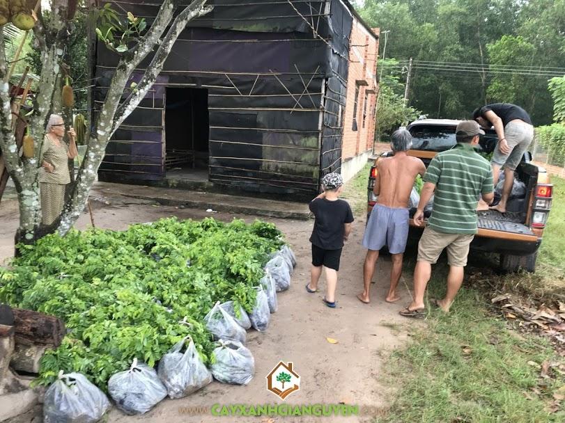 Vườn ươm Cây Xanh Gia Nguyễn, Cây Cảnh Quan, Cây Lâm Nghiệp, Cây Giống Sưa Đỏ, Cây Lộc Vừng