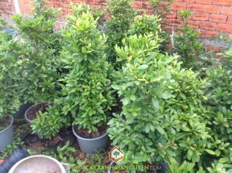 Mô hình trồng Cây Thần Kỳ, Trồng Cây Thần Kỳ, Cây Thần Kỳ, Ươm Cây Giống Thần Kỳ, Trái Cây Thần Kỳ, Cây Cảnh
