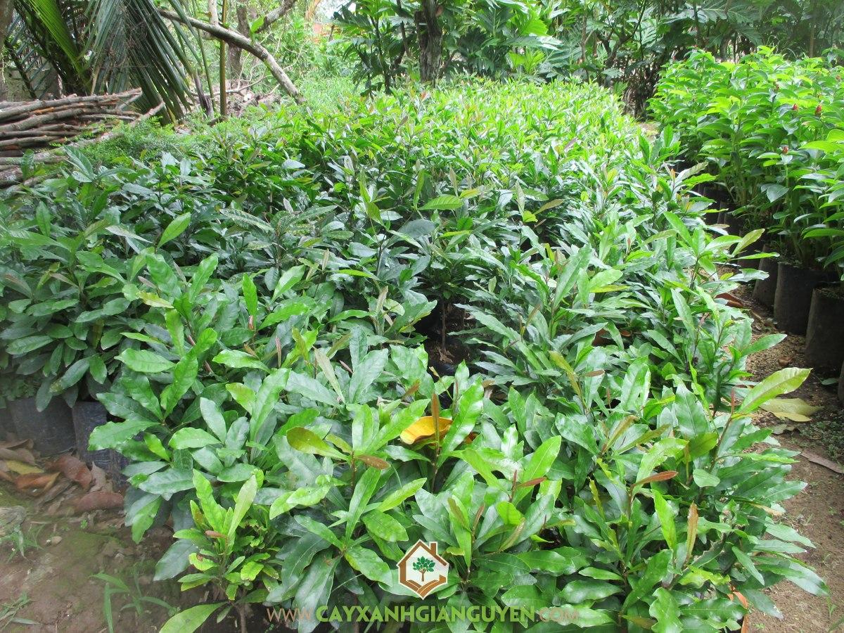 Cây Thần Kỳ, Kỹ thuật trồng Cây Thần Kỳ, Kỹ thuật trồng cây con, Chậu cây, Phương pháp gieo hạt