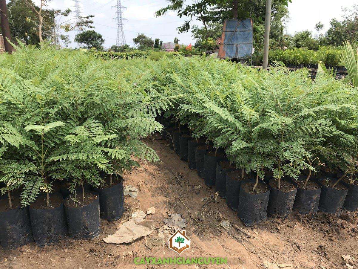 Cây Hoa Phượng Tím, Giống Cây Ngoại Cảnh, Vườn ươm Cây Xanh Gia Nguyễn, Cây giống, Cây Giống Phượng Tím