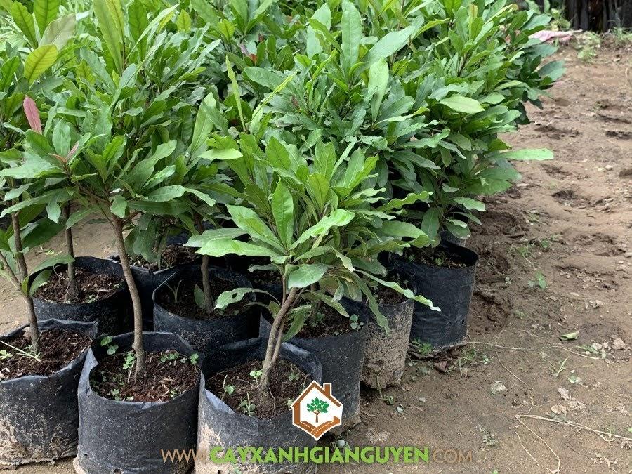 Cây Thần Kỳ, Chậu làm Cây Bonsai, Vườn ươm Gia Nguyễn, Cây Thần Kỳ Giống, Cây Cảnh Bonsai