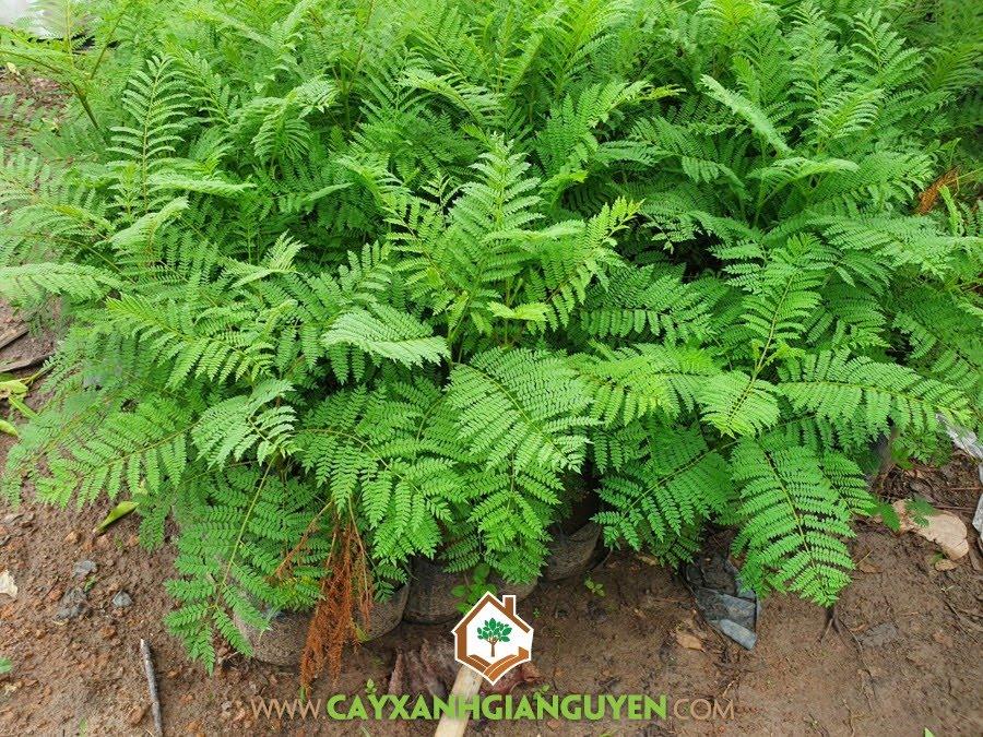 Cây Phượng Tím, Cây Giống Phượng Tím, Vườn ươm cây giống, Cây Công Trình, Cây Bóng Mát