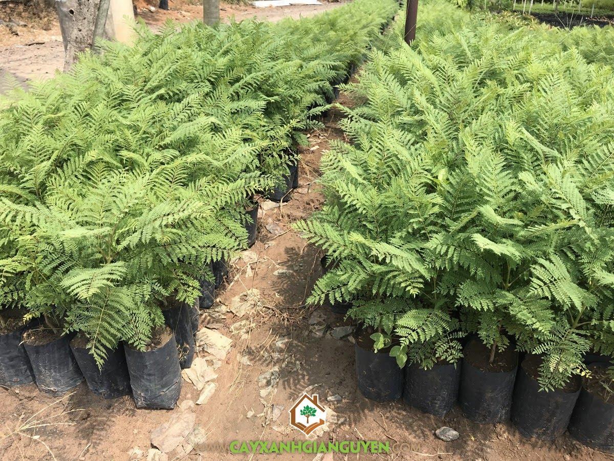 Jacaranda mimosifolia, Phượng Tím, Cây Phượng Tím, Cây Công Trình, Cây Cảnh Quan