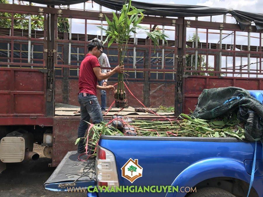 Cây Tre Điền Trúc, Cây Xanh Gia Nguyễn, Giống Tre, trồng Cây Tre Điền Trúc, Tre Điền Trúc