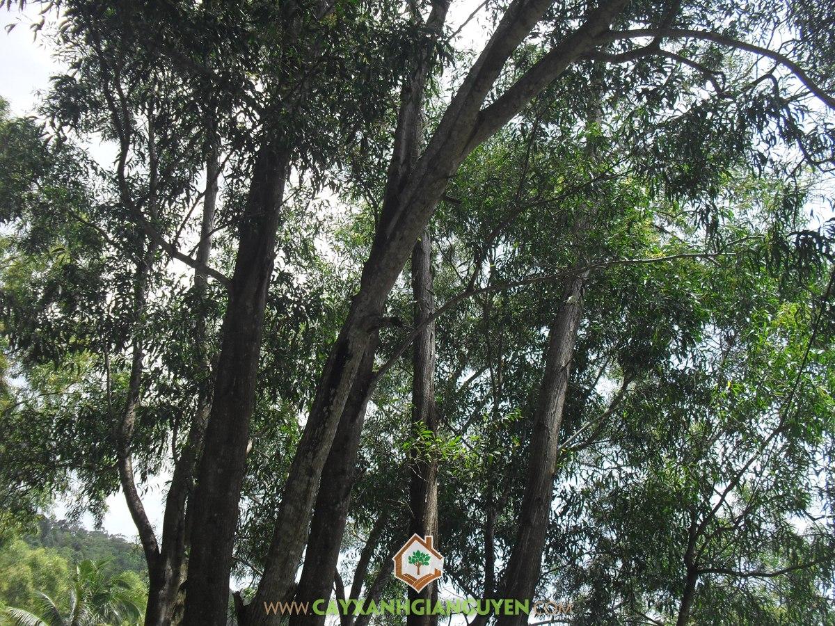 Gỗ Tràm Bông Vàng, Đặc điểm sinh thái Cây Gỗ Tràm Bông Vàng, Gỗ Tràm Bông Vàng, Đặc điểm hình thái Cây Gỗ Tràm Bông Vàng, Tràm Bông Vàng