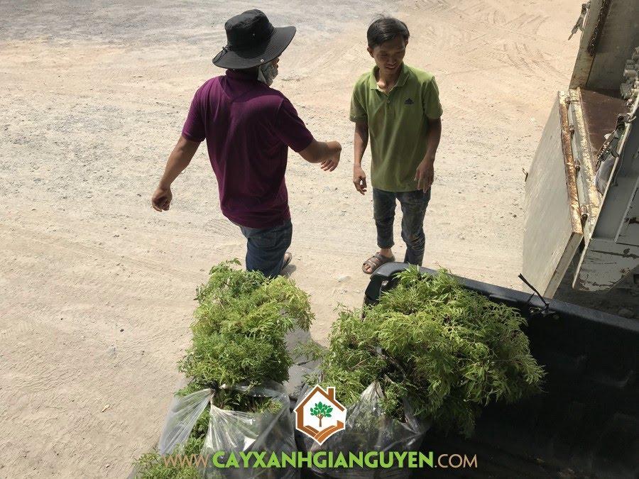 Cây Đinh Lăng, Cây lâu năm, Cây Lâm Nghiệp, Giống Cây Đinh Lăng, Kỹ thuật trồng và chăm sóc Cây Đinh Lăng