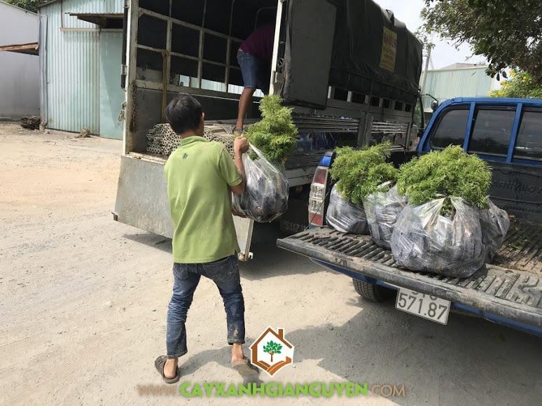 Cây đinh lăng, Cây lâu năm, Cây lâm nghiệp, Giống cây đinh lăng, Kỹ thuật trồng và chăm sóc cây đinh lăng, Cây Xanh Gia Nguyễn