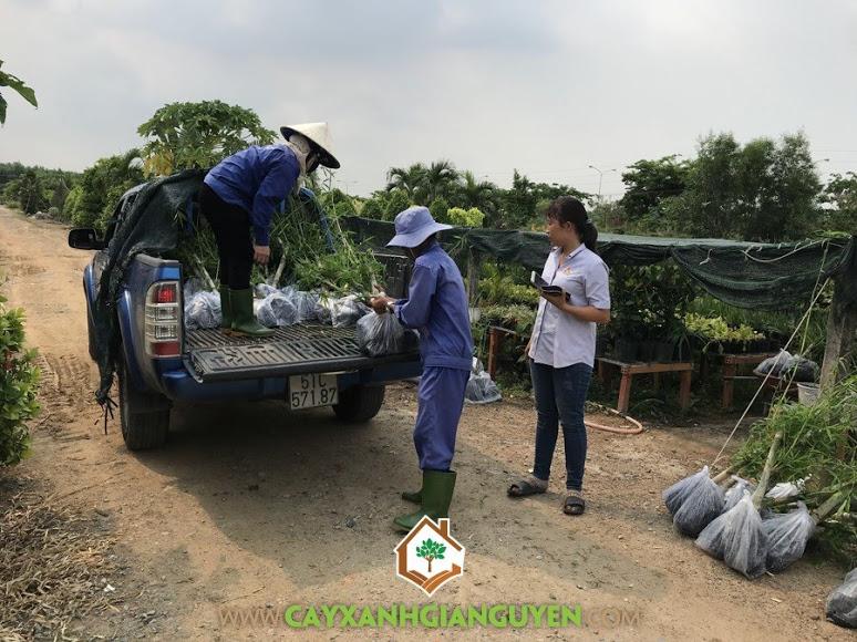 Công ty Cây Xanh Hoàng Lam, Vườn ươm Cây Xanh Gia Nguyễn, Cây Tầm Vông Giống, Cây Tầm Vông, Chăm sóc cây xanh