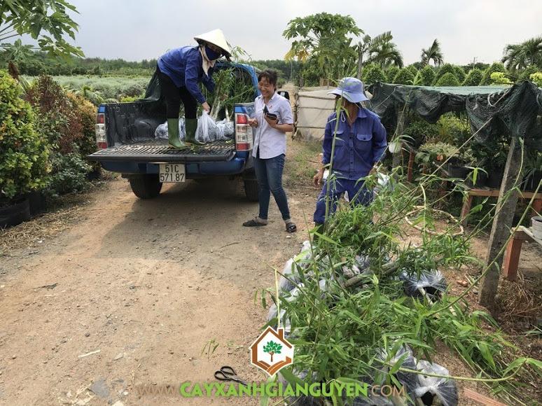 Công ty Cây Xanh Hoàng Lam, Vườn ươm Cây Xanh Gia Nguyễn, Cây tầm vông giống, Cây tầm vông, Vườn ươm tỉnh Bình Phước, Chăm sóc cây xanh, bảo quản vận chuyển cây giống,