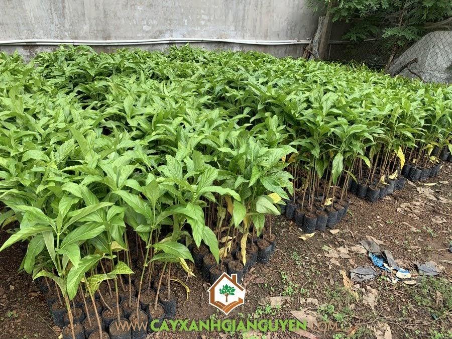Cây Nhàu trồng bao lâu có trái, Cây Nhàu, Quả Nhàu, Vườn ươm Cây Xanh Gia Nguyễn, Cây Giống Nhàu, Cây Nhàu Giống