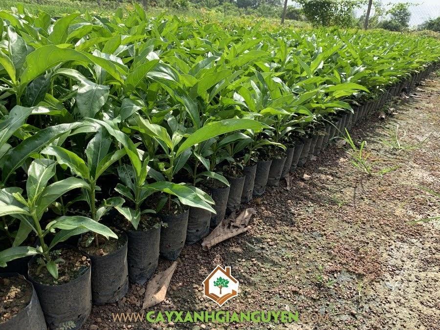Morinda Citrifolia, Nhàu, Cây Nhàu, Cây Nhàu Giống, Cây Dược Liệu