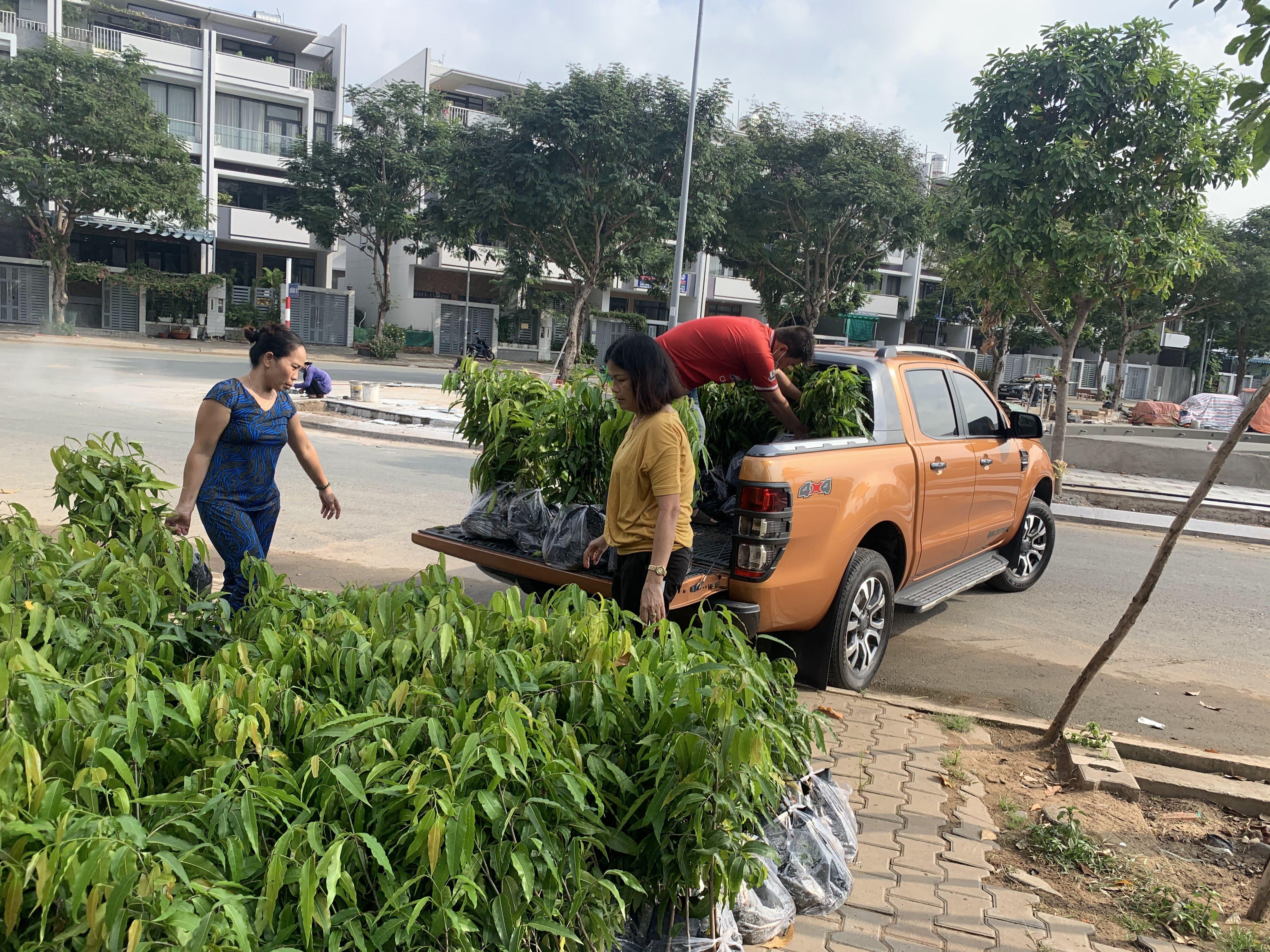 Cây Hoàng Nam, Vườn ươm Cây Xanh Gia Nguyễn, Cây Hoàng Nam Giống, Cây Công Trình, Cây Giống Hoàng Nam