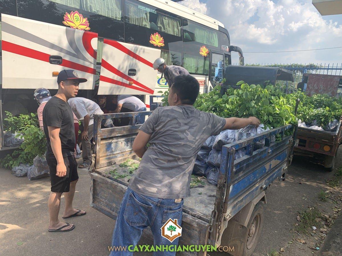 Vườn ươm Cây Xanh Gia Nguyễn, Cây Giáng Hương, Cây Giáng Hương Giống, Cây Giống Giáng Hương