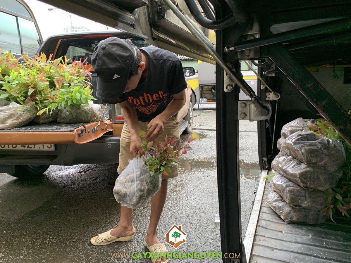 Cây Bạch Đàn, Vườn ươm Cây Xanh Gia Nguyễn, Cây Bạch Đàn Giống, Cây Xanh Gia Nguyễn, Bạch Đàn