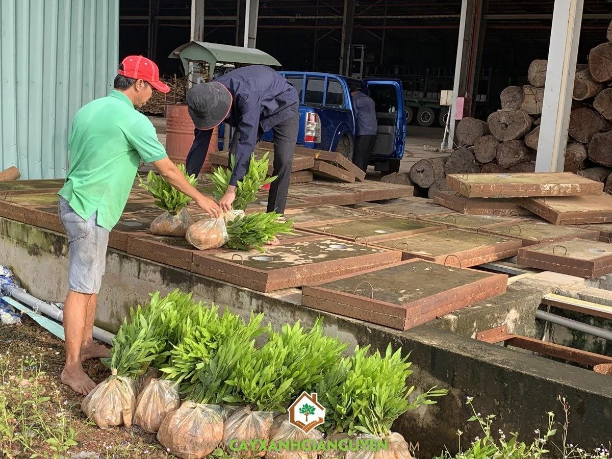 Cây giống, Cây Keo Lai, Keo Lai, Vườn ươm Cây Xanh Gia Nguyễn, Cây Keo Lai Giống
