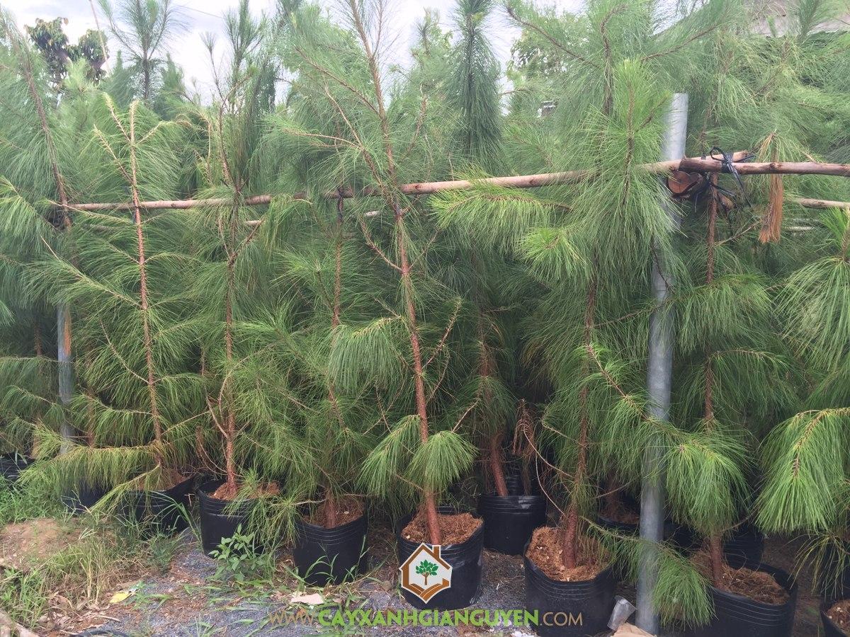 Cây Thông Caribe Giống, Cây Thông Caribe, Cây Cảnh Bonsai, Thông Caribe, Vườn ươm Cây Xanh Gia Nguyễn
