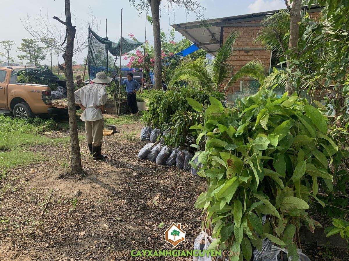 Cây Xanh Gia Nguyễn, Cây Giáng Hương, Cây Dầu Rái, Cây Sưa Đỏ, Cây Gỗ Trắc, Sao Đen
