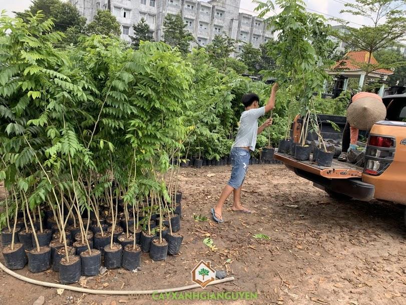 Cây Sưa Đỏ, Cây Xanh Gia Nguyễn, Cây giống của Cây Xanh Gia Nguyễn, Giá trị của Gỗ Sưa Đỏ, Vườn ươm tỉnh Bình Phước, Cây giống