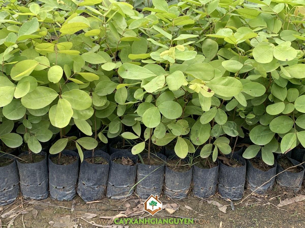 Sindora cochinchinensis H.Baill, Gõ Mật, Cây Gõ Mật, Cây Lâm Nghiệp, Cây Giống Lâm Nghiệp
