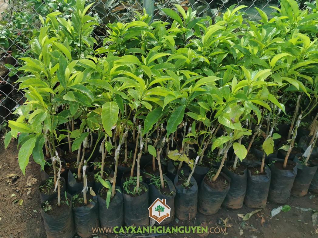 Michelia tonkinensis, Giổi Ghép, Dổi Ghép, Cây Giổi, Cây Dổi
