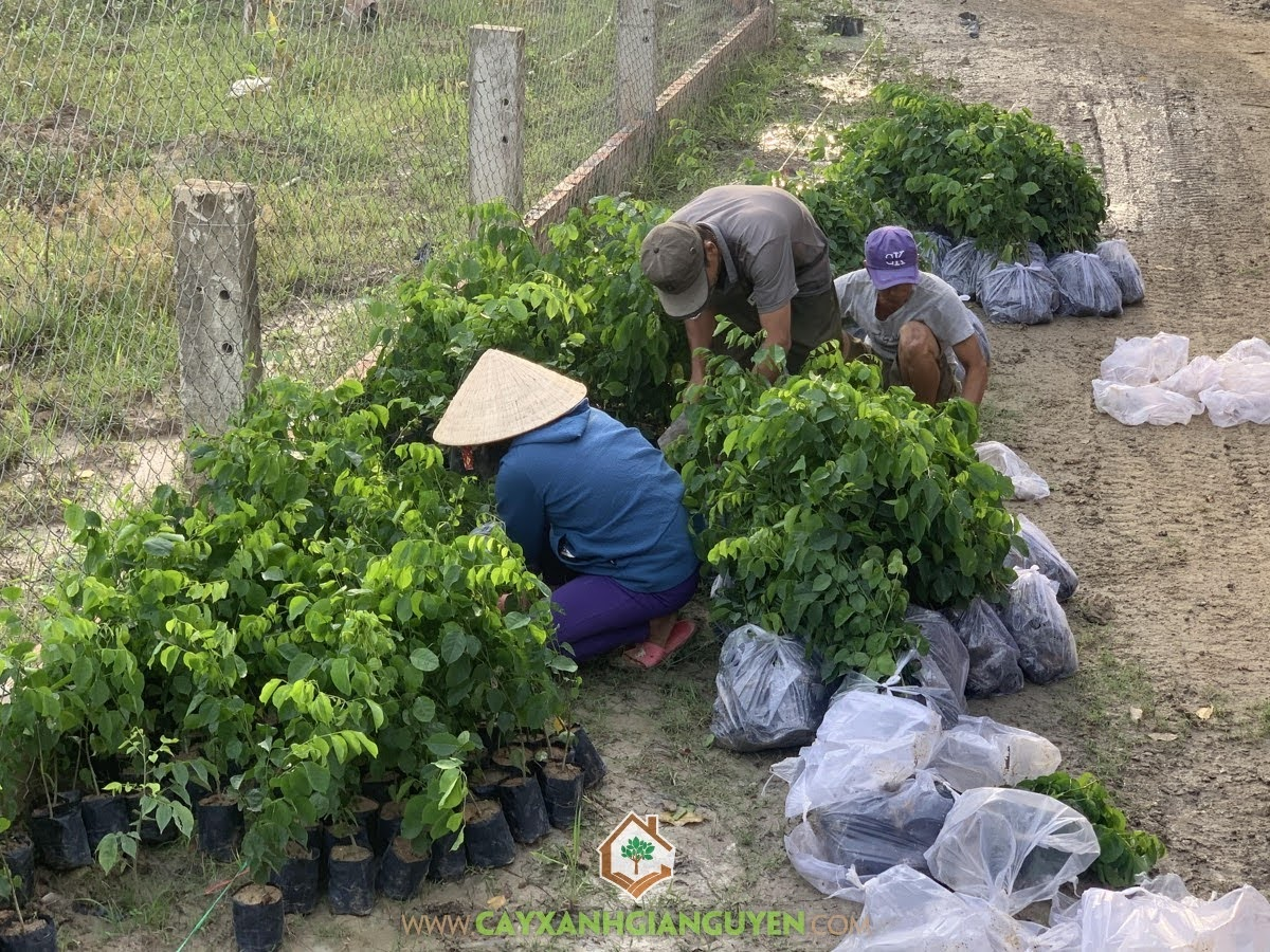 Cây Xanh Gia Nguyễn, Cây Giáng Hương, Giá trị của Cây Giáng Hương, Cây Cảnh trang trí, Cây Lâm Nghiệp