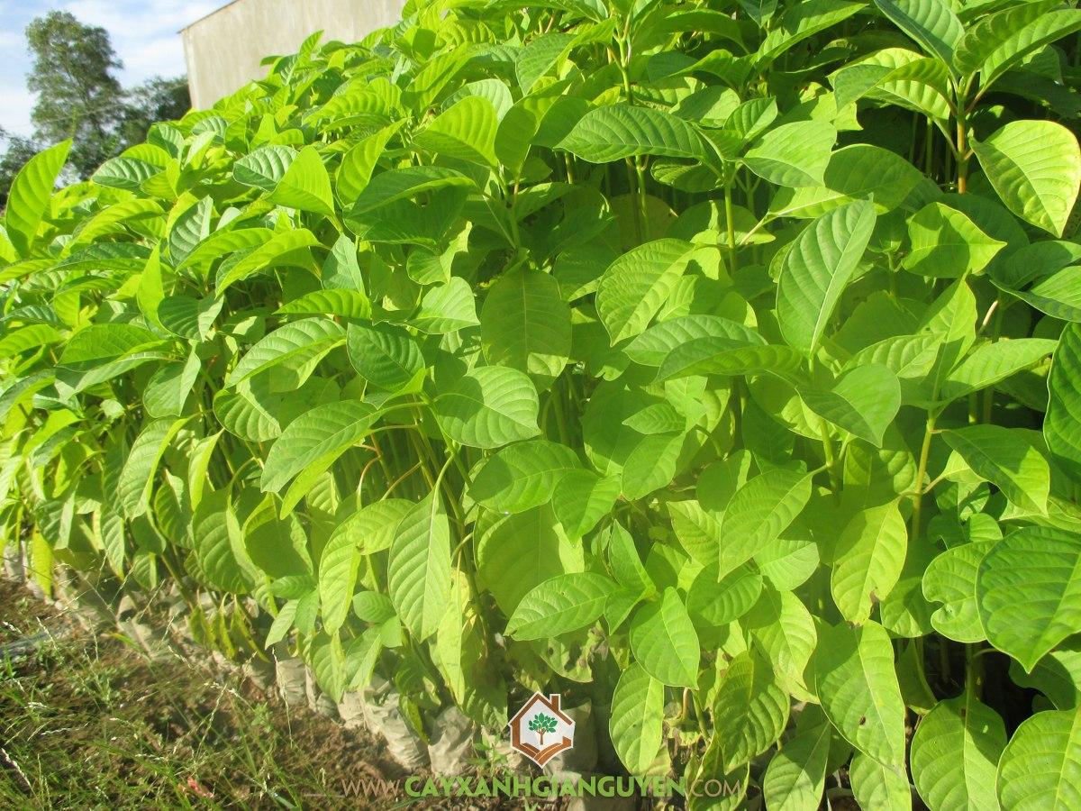 Cây Gáo Trắng, cây trồng lâm nghiệp, người trồng rừng, Những điều cần biết về Cây Gáo Trắng, Cây Gáo Tàu, Cây Cà Đam, Cây Cà Tôm