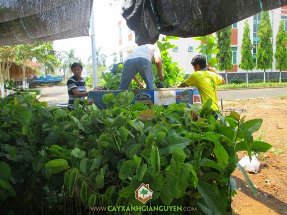 Cây xanh Gia Nguyễn, cây giống, cây công trình, cây giống lâm nghiệp, cung cấp cây giống, cây gió bầu, cây bằng lăng, cây Hoàng Nam