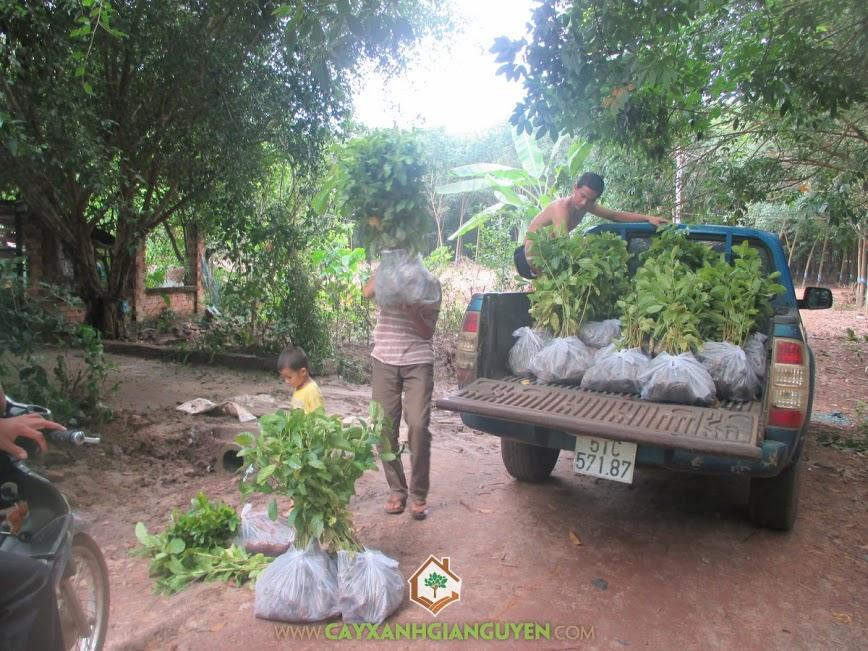 cây xanh gia nguyễn, cây giống lâm nghiệp, cây gáo vàng, cây tỉ phú, cây giống,