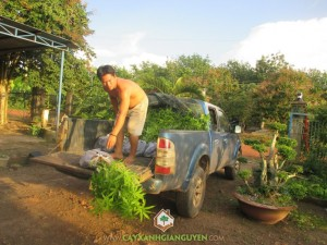 cây trôm, cây trôm giống, cung cấp cây trôm giống, cây giống lâm nghiệp
