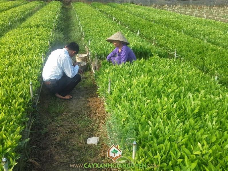 Keo lai, Cách chăm sóc cây keo lai, Cây keo lai, Bệnh phấn trắng, Chăm sóc cây keo lai