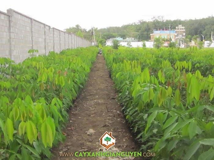 Cây cao su, Cây giống lâm nghiệp, Thu hoạch mủ cao su, Thu hoạch mủ, Cao su