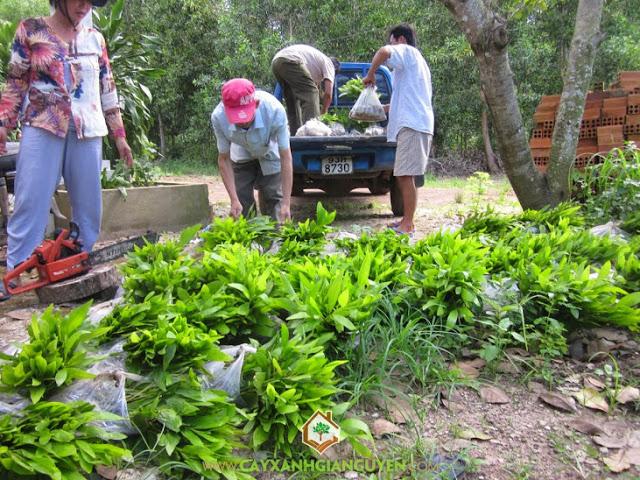 Công ty cây xanh Gia Nguyễn, Cây keo lai, Cây keo lai giống, Vườn ươm, Cây giống keo lai
