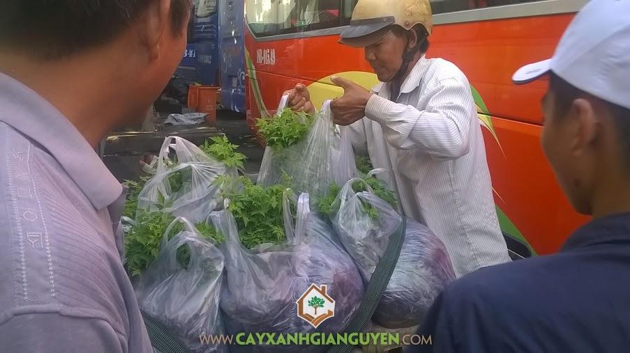 Công ty cây xanh Gia Nguyễn, Cây xoan đào, Gỗ xoan đào, Cây giống xoan đào, Cây xanh Gia Nguyễn