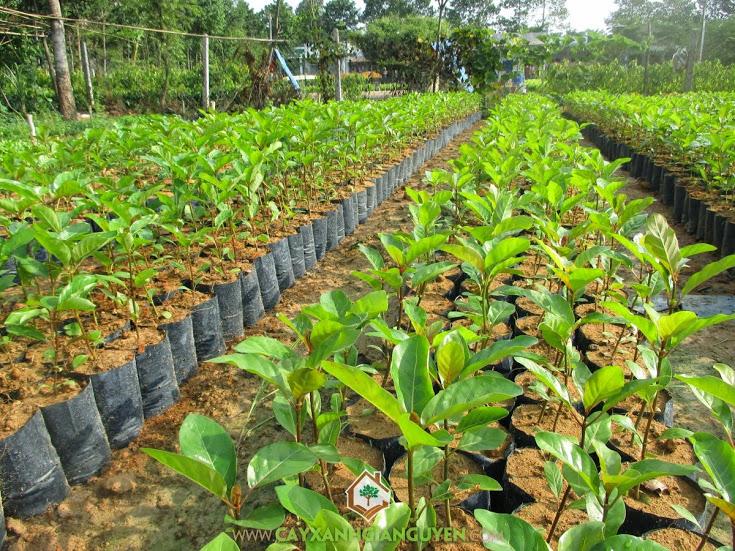 Kỹ thuật trồng cây gáo vàng, Cây gáo vàng, Cây xanh Gia Nguyễn, Trồng cây gáo vàng vào mùa mưa, Gáo vàng