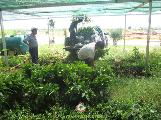 Công ty cây xanh Gia Nguyễn, Cây gáo vàng, Giá trị kinh tế cao, Vỏ cây gáo vàng, Cây mắc mặt