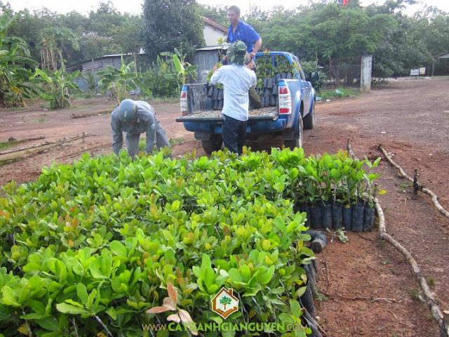 Cây xanh Gia Nguyễn, Đặt mua cây điều giống, Điều giống, Giống điều ghép, Kế hoạch bán điều giống